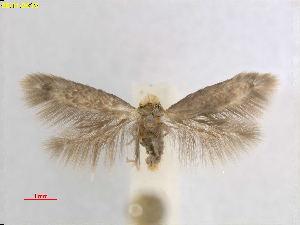 (Stigmella NotholithocarpusCA - RMNH.INS.25073)  @11 [ ] CreativeCommons – Attribution Non-Commercial Share-Alike (2018) Erik J. van Nieukerken-Nauturalis Naturalis Biodiversity Center