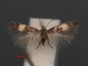 (Stigmella CaliforniaEvN4054 - RMNH.INS.24054)  @11 [ ] CreativeCommons - Attribution Non-Commercial Share-Alike (2013) Erik J. van Nieukerken Naturalis, Biodiversity Center