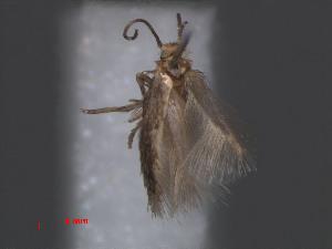 (Stigmella WesternCapeEvN4075 - RMNH.INS.24075)  @12 [ ] CreativeCommons - Attribution Non-Commercial Share-Alike (2013) Erik J. van Nieukerken Naturalis, Biodiversity Center