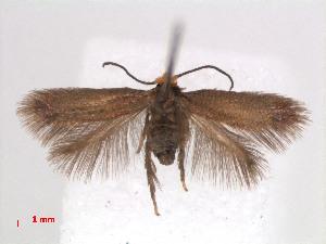 (Stigmella GaultheriaNZ - RMNH.INS.24098)  @13 [ ] CreativeCommons - Attribution Non-Commercial Share-Alike (2013) Erik J. van Nieukerken Naturalis, Biodiversity Center