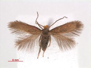(Stigmella GaultheriaNZ - RMNH.INS.24099)  @13 [ ] CreativeCommons - Attribution Non-Commercial Share-Alike (2013) Erik J. van Nieukerken Naturalis, Biodiversity Center