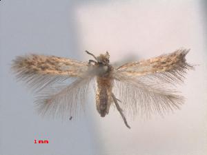 (Stigmella ZiziphusThailand - RMNH.INS.24115)  @11 [ ] CreativeCommons - Attribution Non-Commercial Share-Alike (2013) Erik J. van Nieukerken Naturalis, Biodiversity Center