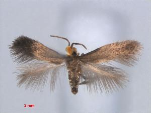 (Stigmella CarexJapan - RMNH.INS.24116)  @13 [ ] CreativeCommons - Attribution Non-Commercial Share-Alike (2013) Erik J. van Nieukerken Naturalis, Biodiversity Center
