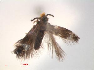 (Stigmella AglaiaBorneo - RMNH.INS.24147)  @12 [ ] CreativeCommons - Attribution Non-Commercial Share-Alike (2013) Erik J. van Nieukerken Naturalis, Biodiversity Center