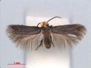 (Stigmella BreyniafruticosaVietnam - RMNH.INS.24166)  @13 [ ] CreativeCommons - Attribution Non-Commercial Share-Alike (2013) Erik J. van Nieukerken Naturalis, Biodiversity Center
