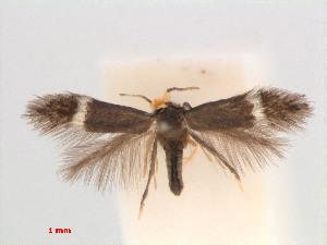 (Stigmella Urenalobata - RMNH.INS.24169)  @13 [ ] CreativeCommons - Attribution Non-Commercial Share-Alike (2013) Erik J. van Nieukerken Naturalis, Biodiversity Center