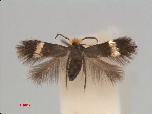 (Stigmella OreocnideVietnam - RMNH.INS.24171)  @13 [ ] CreativeCommons - Attribution Non-Commercial Share-Alike (2013) Erik J. van Nieukerken Naturalis, Biodiversity Center