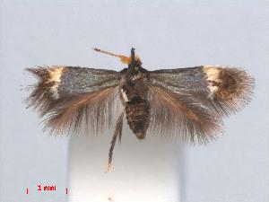(Stigmella CastanopsisVietnam - RMNH.INS.24175)  @13 [ ] CreativeCommons - Attribution Non-Commercial Share-Alike (2013) Erik J. van Nieukerken Naturalis, Biodiversity Center