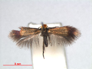 (Stigmella anomalella - RMNH.INS.24215)  @14 [ ] CreativeCommons - Attribution Non-Commercial Share-Alike (2013) Erik J. van Nieukerken Naturalis, Biodiversity Center