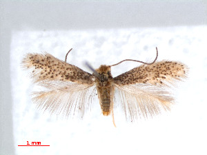 (Parafomoria pseudocistivora - RMNH.INS.24248)  @13 [ ] CreativeCommons - Attribution Non-Commercial Share-Alike (2013) Erik J. van Nieukerken Naturalis, Biodiversity Center