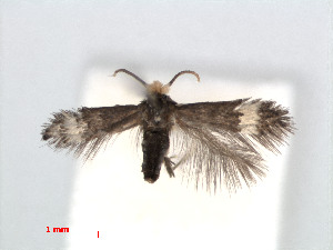 (Stigmella OplismenusVietnam - RMNH.INS.24353)  @12 [ ] CreativeCommons - Attribution Non-Commercial Share-Alike (2013) Erik J. van Nieukerken Naturalis, Biodiversity Center