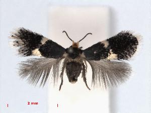 ( - RMNH.INS.24396)  @13 [ ] CreativeCommons - Attribution Non-Commercial Share-Alike (2013) Erik J. van Nieukerken Naturalis, Biodiversity Center