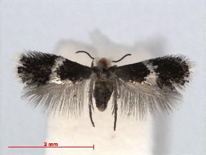 ( - RMNH.INS.24402)  @13 [ ] CreativeCommons - Attribution Non-Commercial Share-Alike (2013) Erik J. van Nieukerken Naturalis, Biodiversity Center