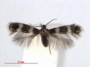 (Stigmella rhamnicola - RMNH.INS.24410)  @13 [ ] CreativeCommons - Attribution Non-Commercial Share-Alike (2013) Erik J. van Nieukerken Naturalis, Biodiversity Center