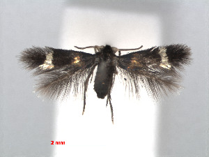 (Stigmella intermedia - RMNH.INS.24412)  @14 [ ] CreativeCommons - Attribution Non-Commercial Share-Alike (2013) Erik J. van Nieukerken Naturalis, Biodiversity Center