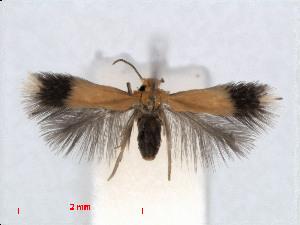 (Stigmella crataegifoliella - RMNH.INS.24413)  @13 [ ] CreativeCommons - Attribution Non-Commercial Share-Alike (2013) Erik J. van Nieukerken Naturalis, Biodiversity Center