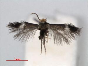 (Stigmella caryaefoliella - RMNH.INS.24414)  @14 [ ] CreativeCommons - Attribution Non-Commercial Share-Alike (2013) Erik J. van Nieukerken Naturalis, Biodiversity Center