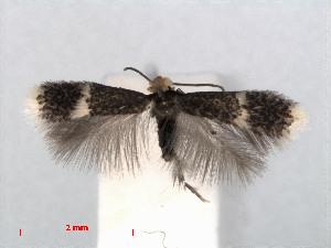(Stigmella fuscotibiella - RMNH.INS.24416)  @14 [ ] CreativeCommons - Attribution Non-Commercial Share-Alike (2013) Erik J. van Nieukerken Naturalis, Biodiversity Center