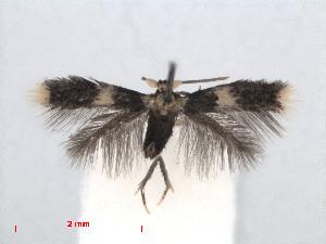 ( - RMNH.INS.24417)  @13 [ ] CreativeCommons - Attribution Non-Commercial Share-Alike (2013) Erik J. van Nieukerken Naturalis, Biodiversity Center