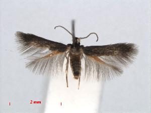 (Stigmella dorsiguttella - RMNH.INS.24420)  @13 [ ] CreativeCommons - Attribution Non-Commercial Share-Alike (2013) Erik J. van Nieukerken Naturalis, Biodiversity Center