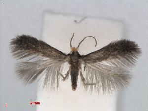 (Stigmella perpygmaeella - RMNH.INS.24429)  @14 [ ] CreativeCommons - Attribution Non-Commercial Share-Alike (2013) Erik J. van Nieukerken Naturalis, Biodiversity Center