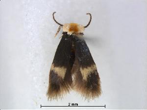 (Stigmella albilamina - RMNH.INS.24498)  @13 [ ] CreativeCommons - Attribution Non-Commercial Share-Alike (2015) Unspecified Naturalis Biodiversity Centre