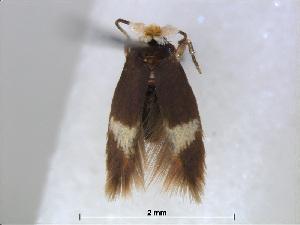 (Stigmella fuscilamina - RMNH.INS.24499)  @13 [ ] CreativeCommons - Attribution Non-Commercial Share-Alike (2015) Unspecified Naturalis Biodiversity Centre