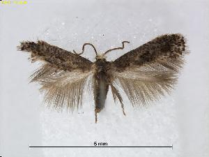 (Stigmella atrata - RMNH.INS.24516)  @14 [ ] CreativeCommons - Attribution Non-Commercial Share-Alike (2015) Unspecified Naturalis Biodiversity Centre