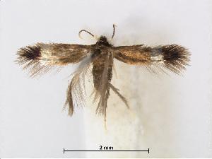 (Stigmella ulmivora - RMNH.INS.24539)  @14 [ ] CreativeCommons - Attribution Non-Commercial Share-Alike (2015) Unspecified Naturalis Biodiversity Centre