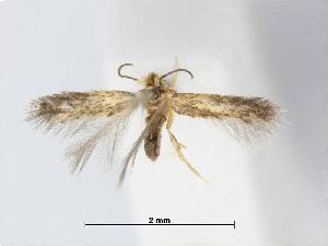 (Stigmella paliurella - RMNH.INS.24550)  @13 [ ] CreativeCommons - Attribution Non-Commercial Share-Alike (2015) Unspecified Naturalis Biodiversity Centre