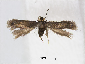 (Stigmella fumida - RMNH.INS.24562)  @14 [ ] CreativeCommons - Attribution Non-Commercial Share-Alike (2015) Unspecified Naturalis Biodiversity Centre