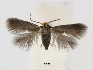 (Stigmella nireae - RMNH.INS.24718)  @14 [ ] CreativeCommons - Attribution Non-Commercial Share-Alike (2015) Unspecified Naturalis Biodiversity Centre