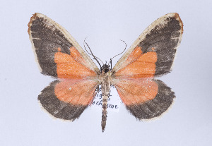 (Callipia - Callipia-gb 0020)  @15 [ ] Copyright (2010) Gunnar Brehm Institut fuer Spezielle Zoologie und Evolutionsbiologie, Friedrich-Schiller Universitat Jena