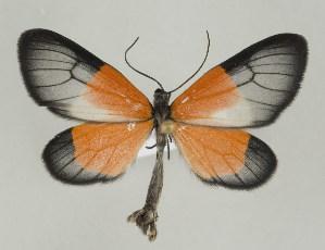 (Eudule - ID 16917)  @15 [ ] Copyright (2010) Gunnar Brehm Institut fuer Spezielle Zoologie und Evolutionsbiologie, Friedrich-Schiller Universitat Jena