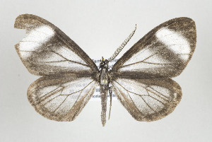 (Myrmecophantes - ID 17446)  @14 [ ] Copyright (2010) Gunnar Brehm Institut fuer Spezielle Zoologie und Evolutionsbiologie, Friedrich-Schiller Universitat Jena