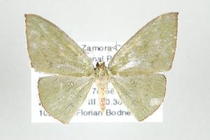 (Zalissolepis - ID 17522)  @14 [ ] Copyright (2010) Gunnar Brehm Institut fuer Spezielle Zoologie und Evolutionsbiologie, Friedrich-Schiller Universitat Jena