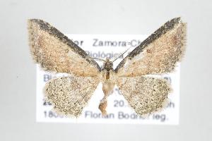 (Cyclophora nr. acutaria - ID 17773)  @14 [ ] Copyright (2010) Gunnar Brehm Institut fuer Spezielle Zoologie und Evolutionsbiologie, Friedrich-Schiller Universitat Jena