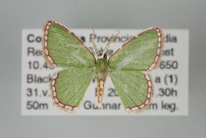 (Synchlora pulchrifimbria - GeoCR 27574)  @14 [ ] Copyright (2010) Gunnar Brehm Institut fuer Spezielle Zoologie und Evolutionsbiologie, Friedrich-Schiller Universitat Jena