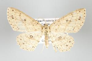 (Cyclophora griseomixta - GeoCR 30250)  @13 [ ] Copyright (2010) Gunnar Brehm Institut fuer Spezielle Zoologie und Evolutionsbiologie, Friedrich-Schiller Universitat Jena