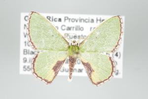 (Synchlora sp - GeoCR 34102)  @13 [ ] Copyright (2010) Gunnar Brehm Institut fuer Spezielle Zoologie und Evolutionsbiologie, Friedrich-Schiller Universitat Jena