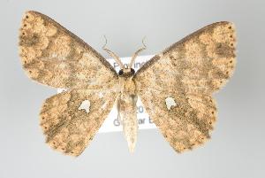 (Cyclophora nodigera - GeoCR 37522)  @14 [ ] Copyright (2010) Gunnar Brehm Institut fuer Spezielle Zoologie und Evolutionsbiologie, Friedrich-Schiller Universitat Jena