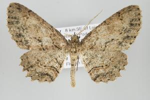 (Odysia - ID 15851)  @14 [ ] Copyright (2010) Gunnar Brehm Institut fuer Spezielle Zoologie und Evolutionsbiologie, Friedrich-Schiller Universitat Jena