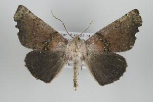 (Cnephora - ID 15919)  @14 [ ] Copyright (2010) Gunnar Brehm Institut fuer Spezielle Zoologie und Evolutionsbiologie, Friedrich-Schiller Universitat Jena