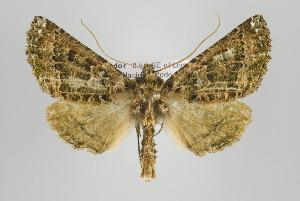 (Aragua - ID 15924)  @15 [ ] Copyright (2010) Gunnar Brehm Institut fuer Spezielle Zoologie und Evolutionsbiologie, Friedrich-Schiller Universitat Jena