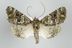 (Postazuayia - ID 15927)  @15 [ ] Copyright (2010) Gunnar Brehm Institut fuer Spezielle Zoologie und Evolutionsbiologie, Friedrich-Schiller Universitat Jena