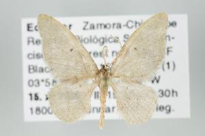 (Idaea recrinita - ID 15972)  @14 [ ] Copyright (2010) Gunnar Brehm Institut fuer Spezielle Zoologie und Evolutionsbiologie, Friedrich-Schiller Universitat Jena