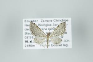 (Eupithecia costivallata - ID 15992)  @14 [ ] Copyright (2010) Gunnar Brehm Institut fuer Spezielle Zoologie und Evolutionsbiologie, Friedrich-Schiller Universitat Jena
