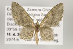 (Eupithecia acragas - ID 16120)  @15 [ ] Copyright (2010) Gunnar Brehm Institut fuer Spezielle Zoologie und Evolutionsbiologie, Friedrich-Schiller Universitat Jena