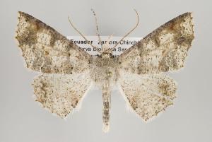 (Cirsodes - ID 16132)  @15 [ ] Copyright (2010) Gunnar Brehm Institut fuer Spezielle Zoologie und Evolutionsbiologie, Friedrich-Schiller Universitat Jena