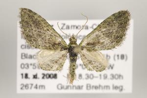 (Eupithecia emporia - ID 16145)  @15 [ ] Copyright (2010) Gunnar Brehm Institut fuer Spezielle Zoologie und Evolutionsbiologie, Friedrich-Schiller Universitat Jena